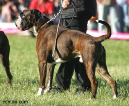 Atibox 2009 saturday sta perpetua de mogoda e dogs for Boxer jardin de passiflore